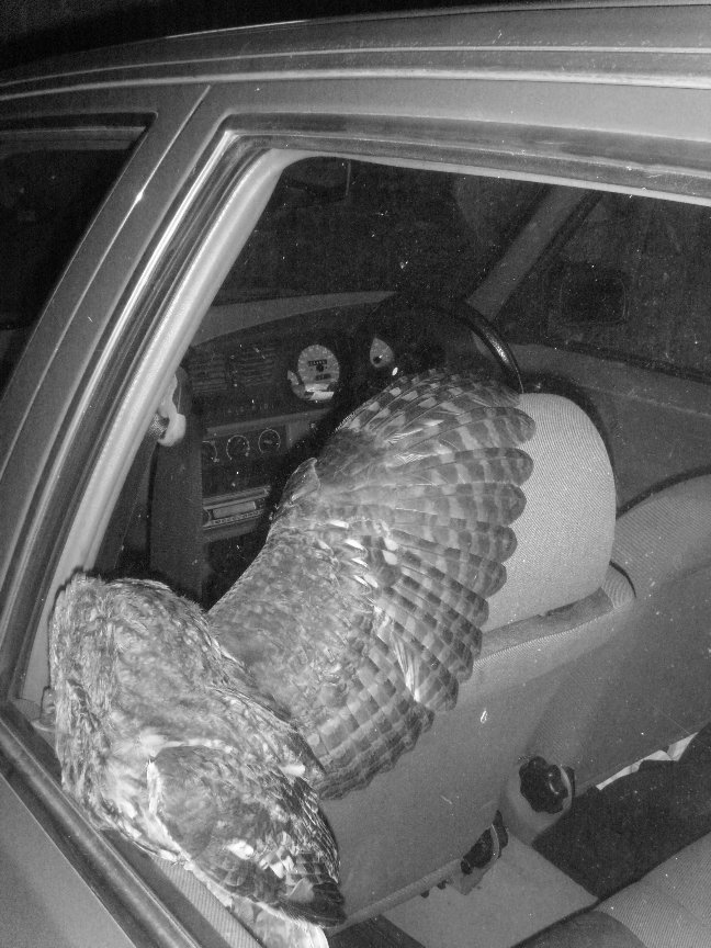 Tawny Owl survives impact with my car.